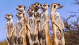 meerkat welsh mountain zoo